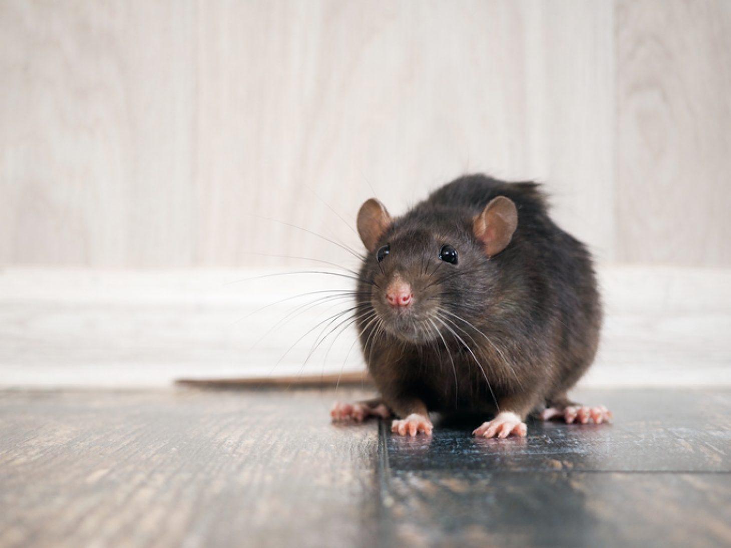 presence de rats montpellier
