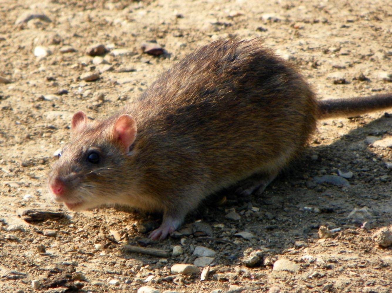 invasion de rats a beziers