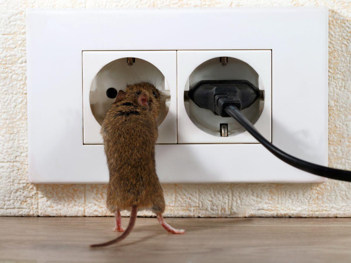 eradication rat frontignan
