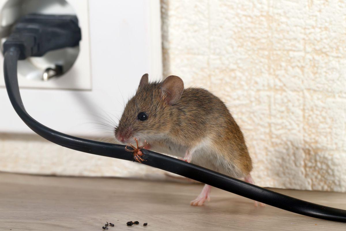 eradication rats lunel