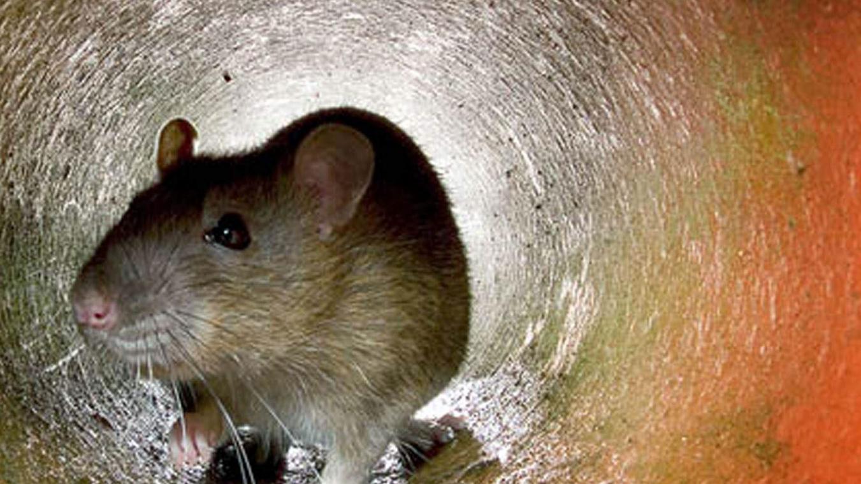 eradication rat auribeau sur siagne