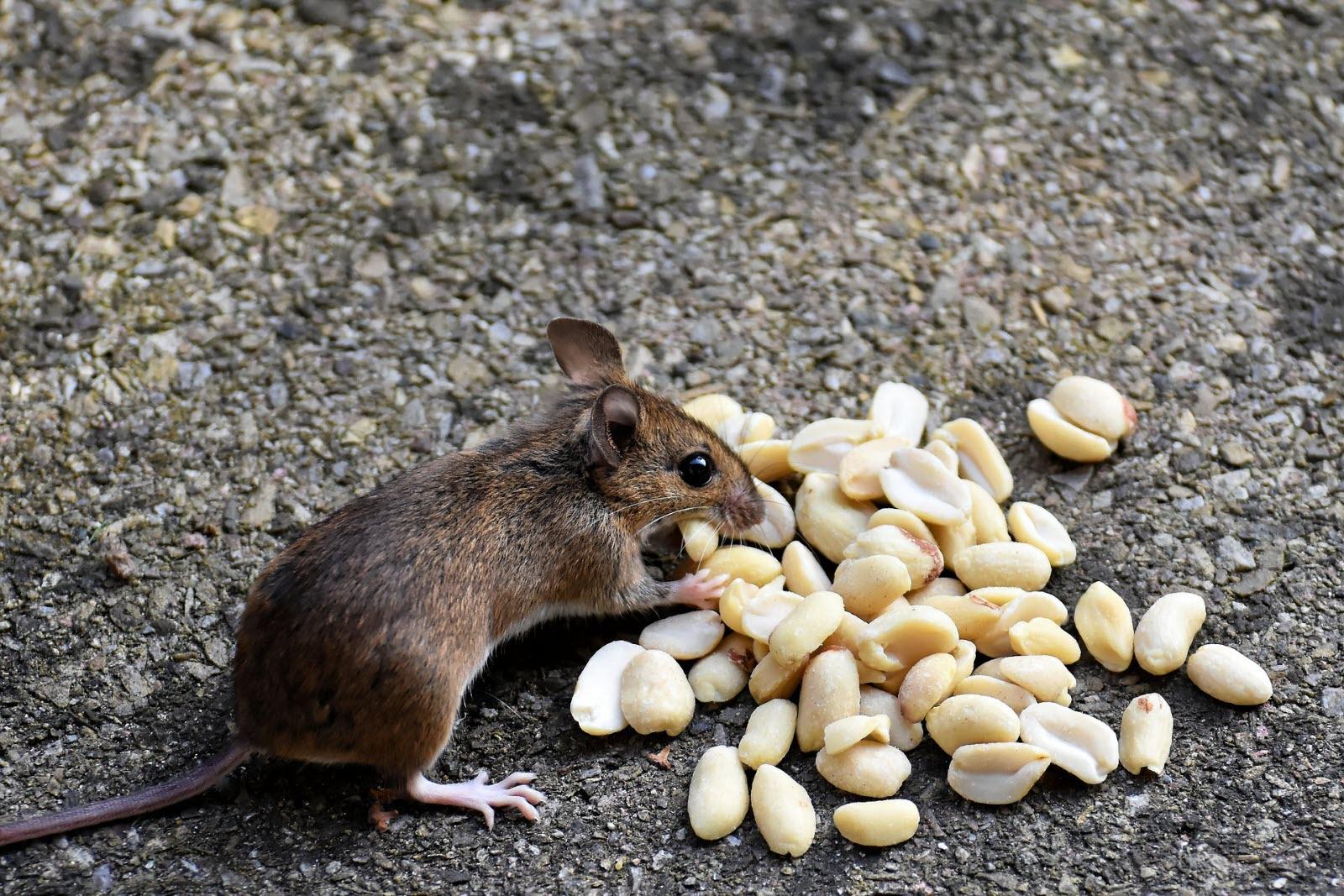 Piège pour faire fuir les souris dans les murs.