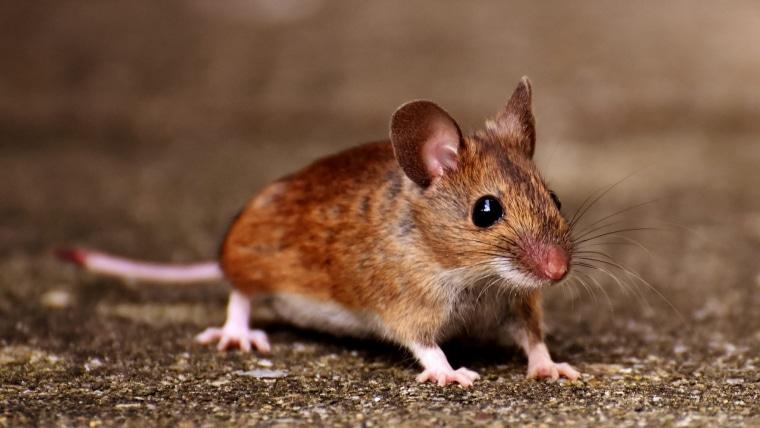 comment attraper souris