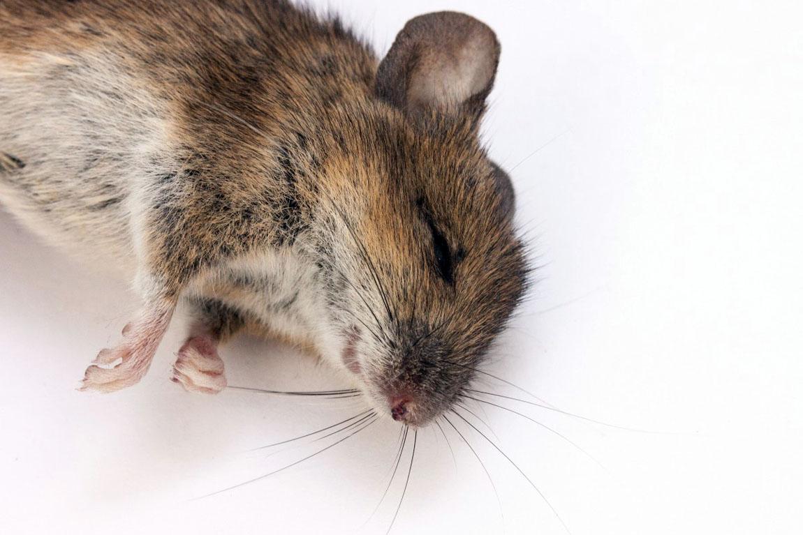 attraper souris