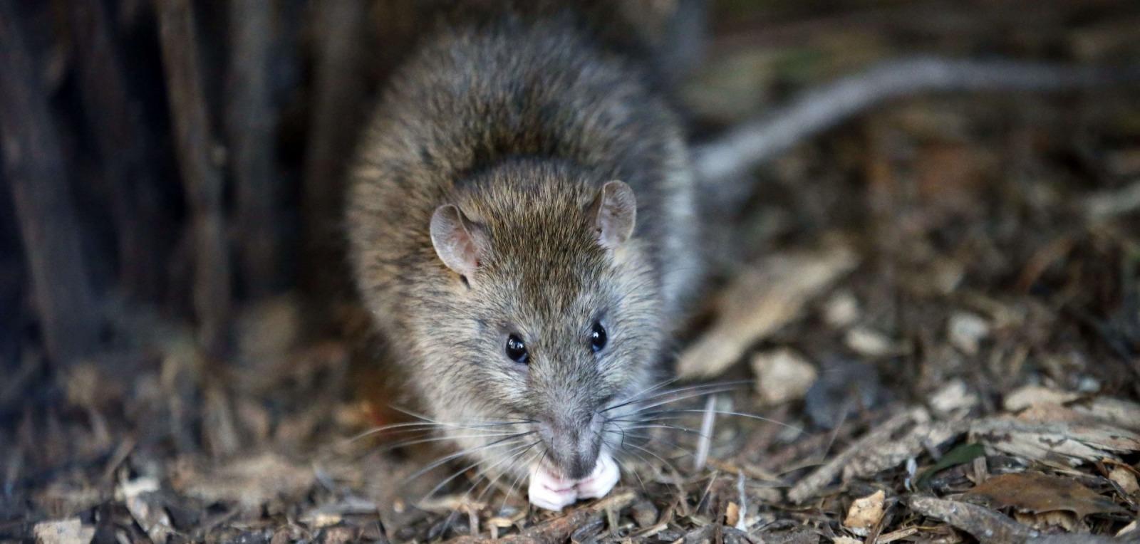 eradication rats souris ville de lattes