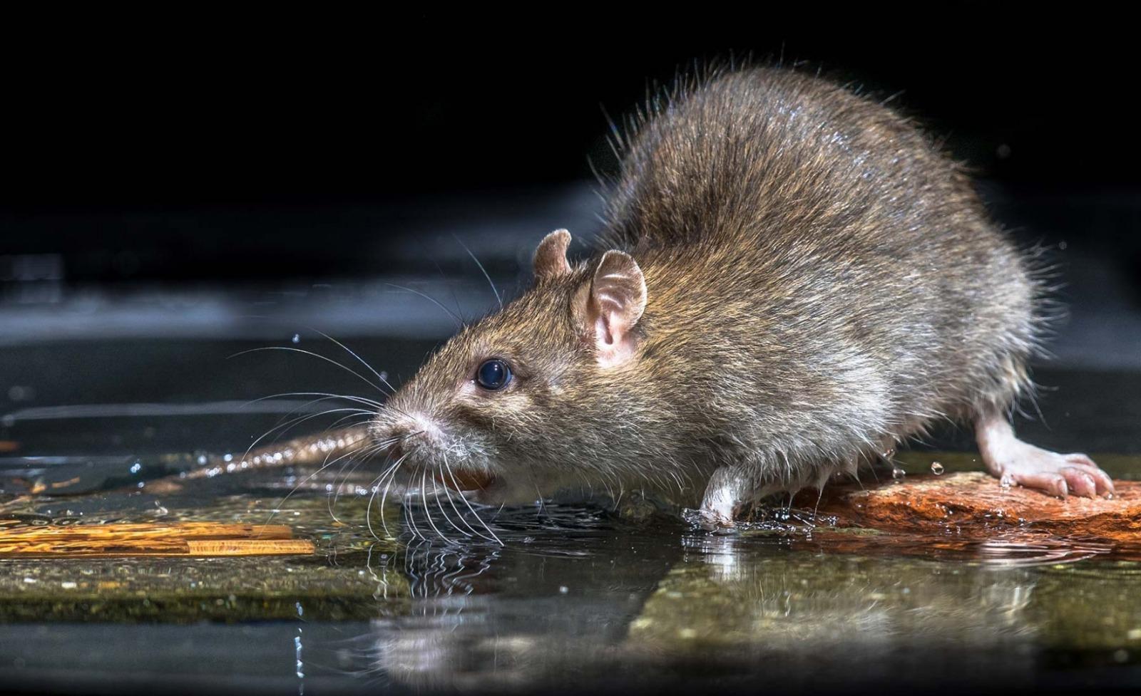 extermination rat ville mauguio