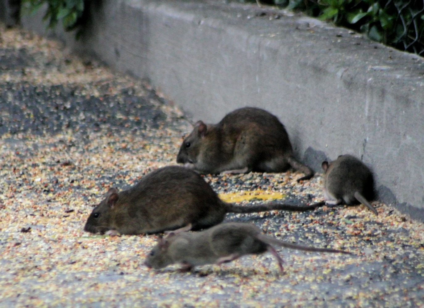 elimination rats souris ville perols
