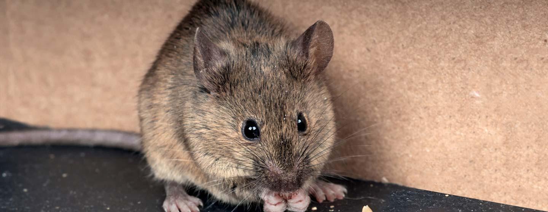 eradication rats la peinne sur huveaune