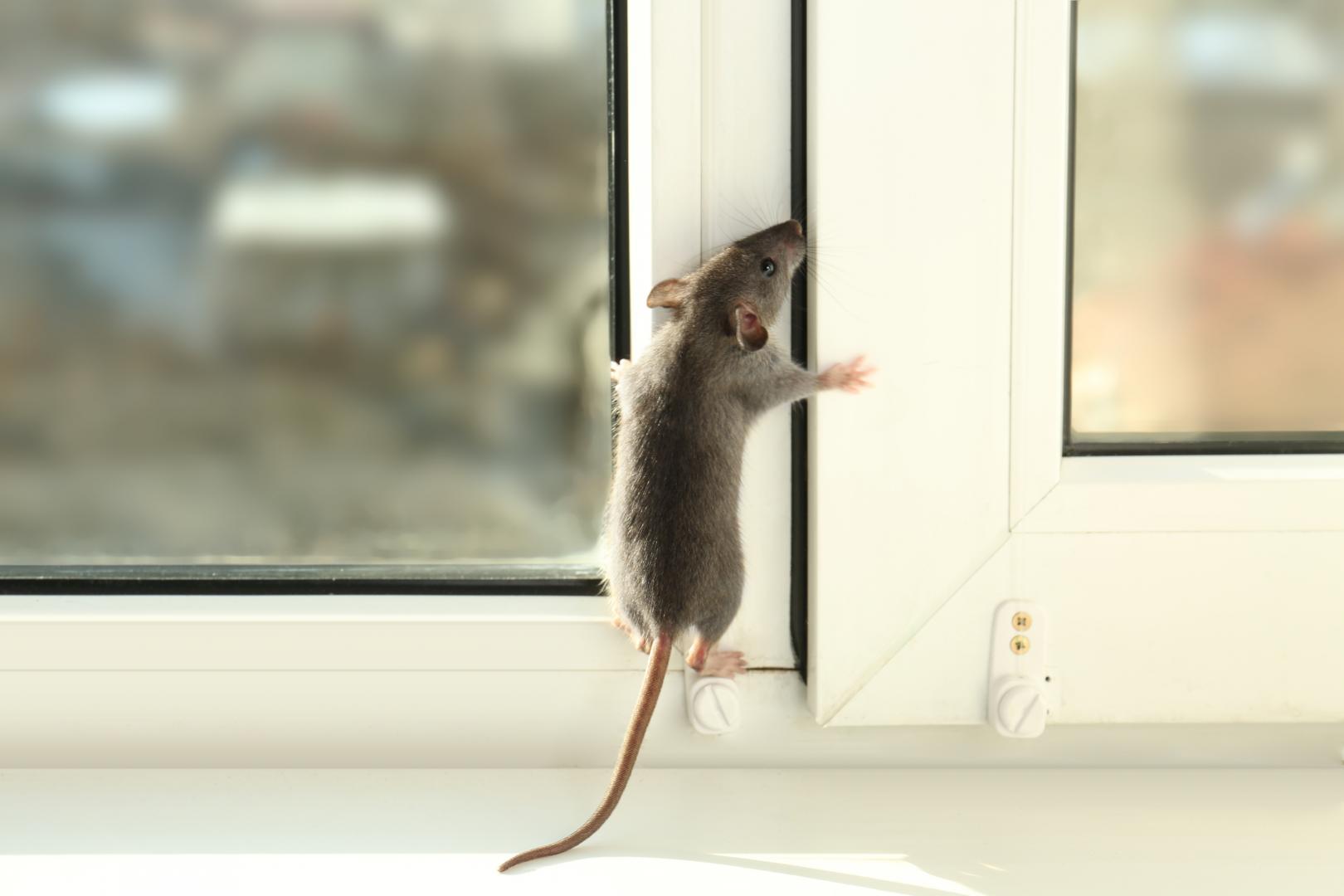 extermination rats souris castelnau le lez