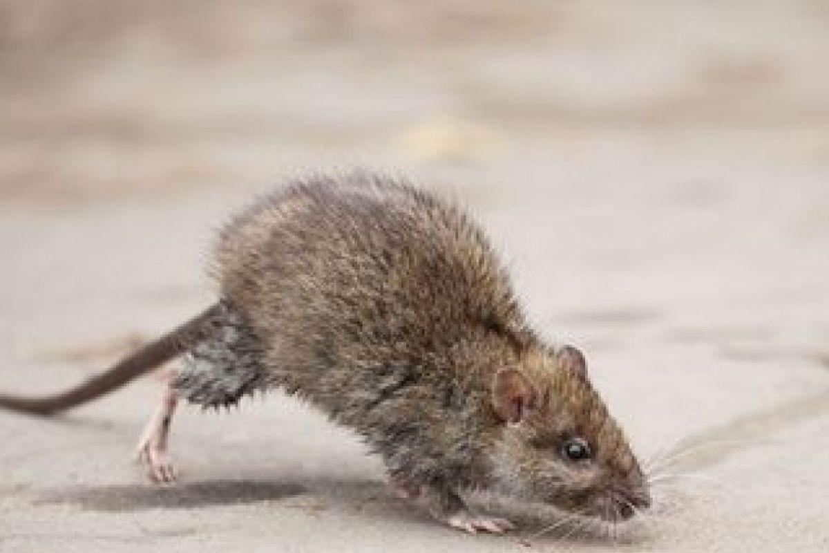 eradication rats saint victoret