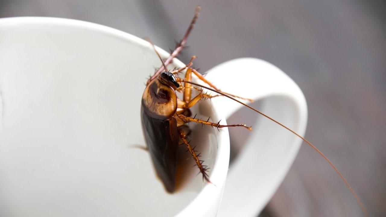 photo cafards et blattes