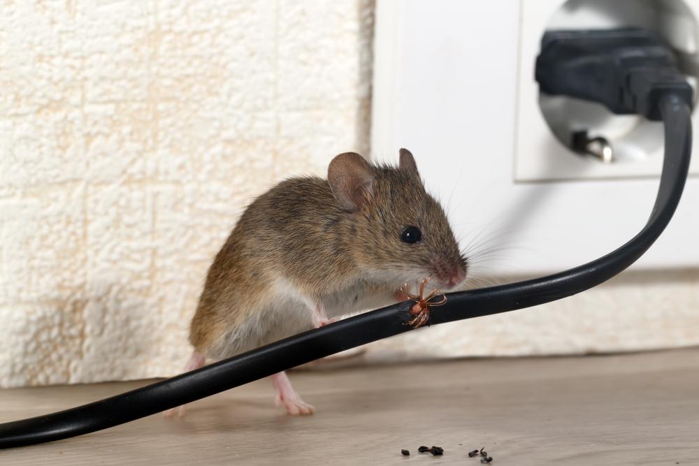 saint gely du fresc deratisation rats