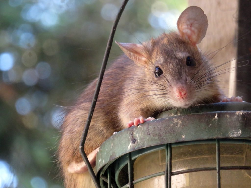 eradication rats escarene