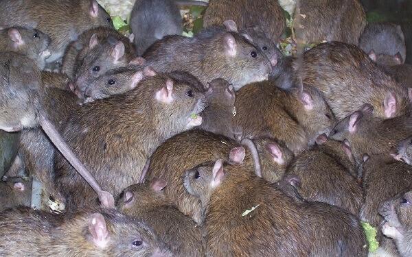 communaute rats