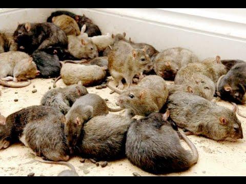 defiance rats
