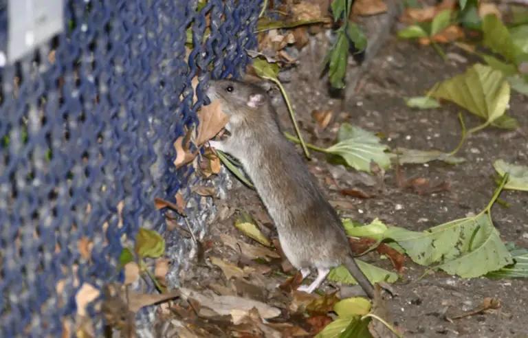 gaz carbonique lutter rats