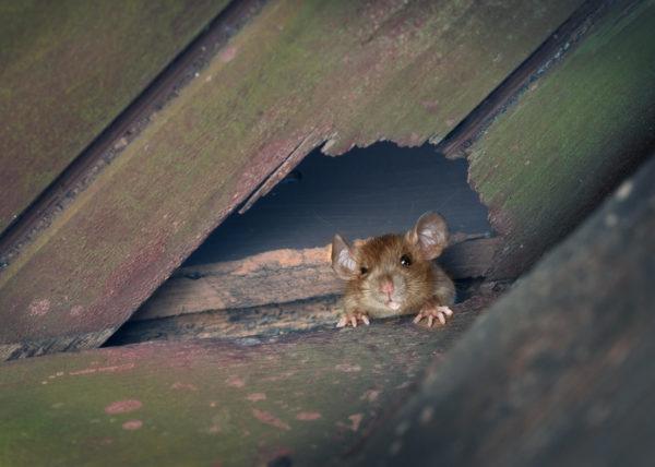ratproofing