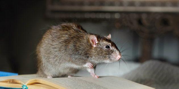 maladies germes transmis rats