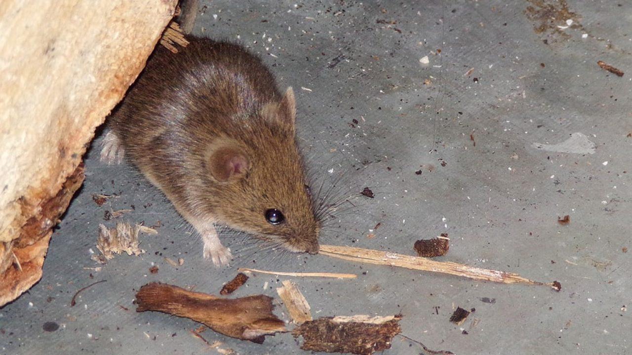 comportement rats