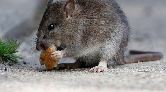 decouvrez comment rats souris transmettent maladies
