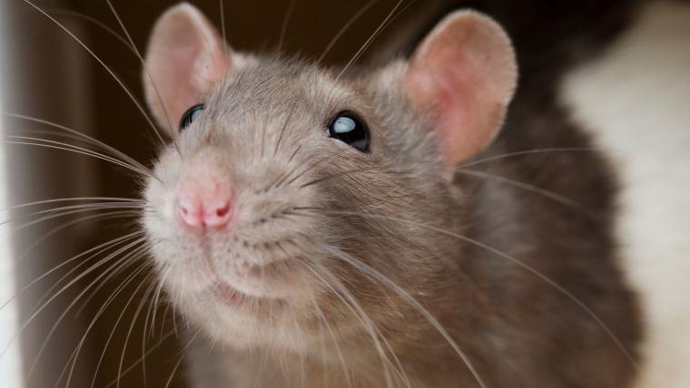 transmission germes homme rats